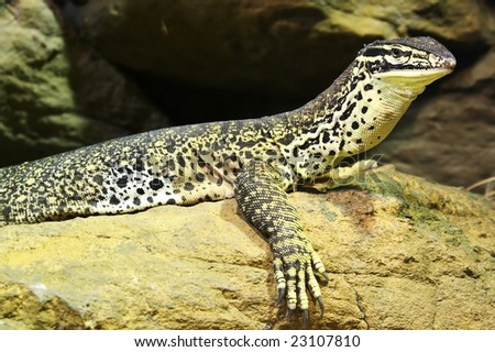 Lizard resting on rocks
