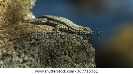 Lizard sunning on a rock with blue sea as background - stock photo