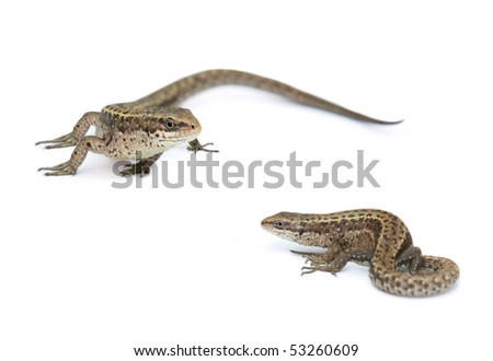 Lizards isolated on a white background