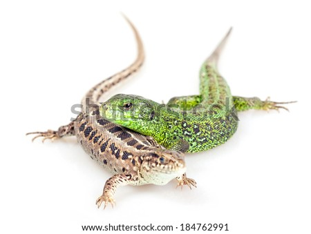 Lizards isolated on white background. - stock photo
