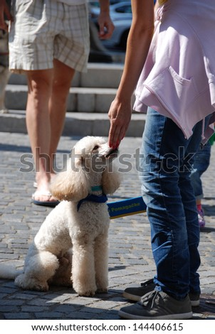 LJUBLJANA, SLOVENIA - JUNE 29: Society for therapeutic dogs Tacke Pomagacke (Helping paws) has a presentation at ARTish festival  in Ljubljana, SI, June 29, 2013. White poodle therapy dog trainee.