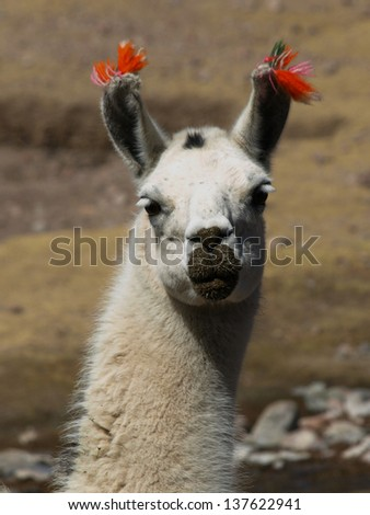 Llama - stock photo