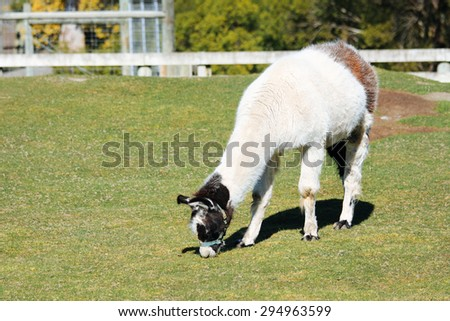llama alpaca with brown bottom eating grass - stock photo