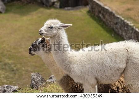 Llama at Machu Picchu, Cusco, Peru, South America. A UNESCO World Heritage Site - stock photo