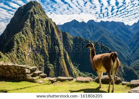 Llama at Machu Picchu, Incas ruins in the peruvian Andes at Cuzco Peru - stock photo