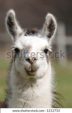 Llama Close Up - stock photo
