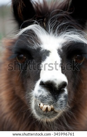 Llama close up with big teeth