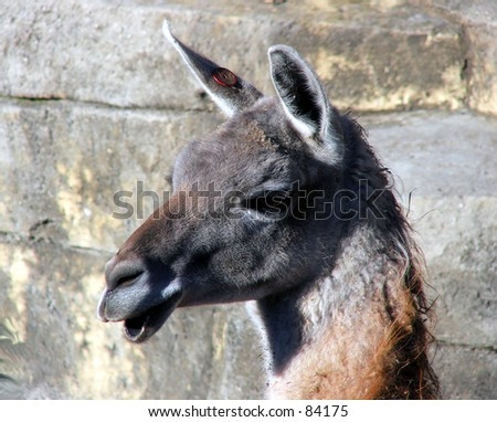 llama head color - stock photo