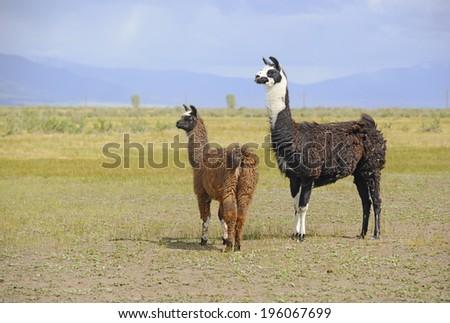 Llama in a mountain environment - stock photo