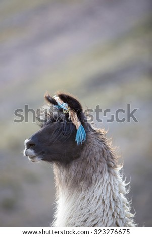 Llama in Purmamarca, near Cerro de los Siete Colores (The Hill of Seven Colors), in the colourful valley of Quebrada de Humahuaca in Jujuy Province, northern Argentina. - stock photo
