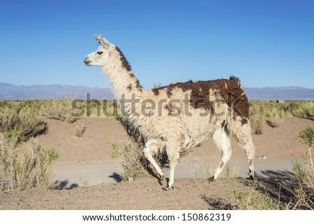 Llama in Salinas Grandes salt flats in Jujuy province, northern Argentina. - stock photo