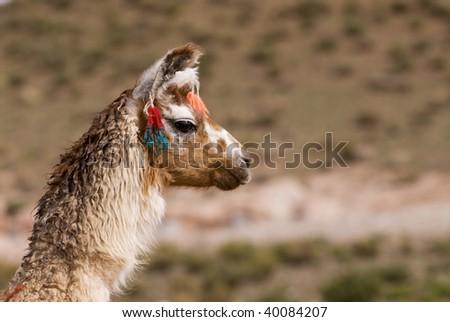Llama (Lama glama) a high altitude Camelid from South America - stock photo