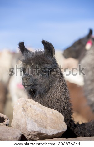 Llama (Lama glama) early in the morning at high altitude with blue clear sky in Bolivia. - stock photo