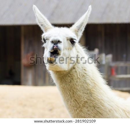 Llama lama in the zoo outdoors - stock photo