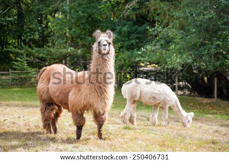 Llama on the meadow - stock photo