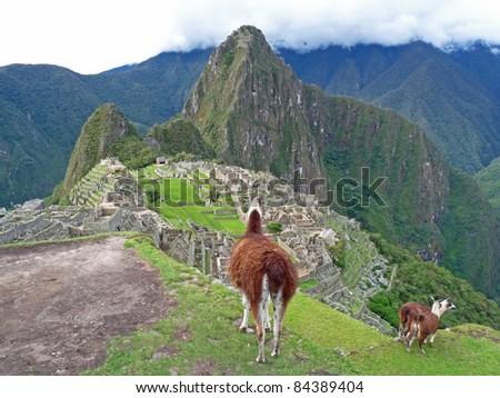 Llama overlooking Machu Picchu - stock photo