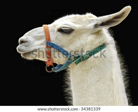 Llama Portrait: Profile of a dignified llama's head in a colorful bridle. Photographed against black background. - stock photo