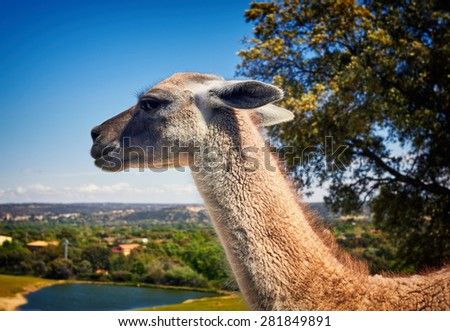 Llama, South American camelid, which live in the high alpine areas. - stock photo