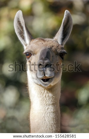 Llama, South American camelid, which live in the high alpine areas of the Andes  - stock photo