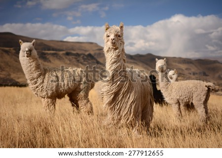 Llamas (Alpaca) in Andes,Mountains, Peru - stock photo