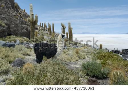 Llamas at Incahuasi Island, Salar de Uyuni, Bolivia - stock photo