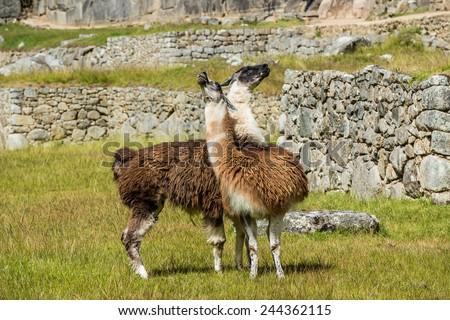 Llamas at Machu Picchu, Incas ruins in the peruvian Andes at Cuzco Peru - stock photo