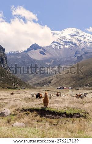 Llamas, Chimborazo National Park, south america - stock photo