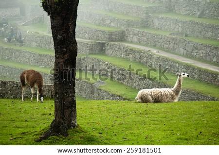 Llamas enjoying their day at the ruins of Machu Picchu, Peru - stock photo