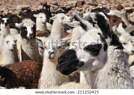 Llamas in Andes Mountains, Chile - stock photo