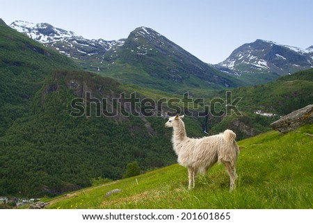 llamas in the mountains. scenic spots in nature. - stock photo
