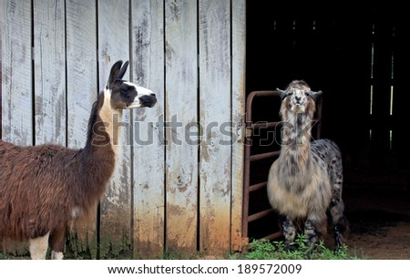 Llamas on a farm - stock photo
