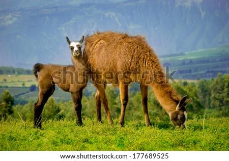 Llamas on Cochasqui piramids, baby mother, Ecuador - stock photo