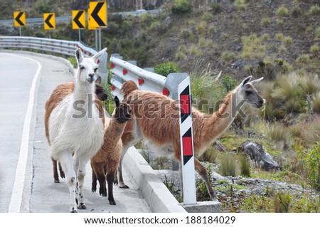 Llamas on the road in El Cajas National Park, Ecuador - stock photo