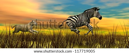 Llioness running after a zebra in the nature by sunset - stock photo