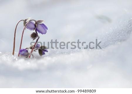 Lliverwort (Anemone hepatica ) flowers in the snow - stock photo