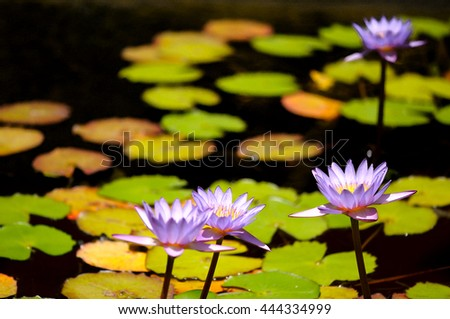 Lllac water lilies with lotus leaves on pond. Imitation watercolor filter. - stock photo