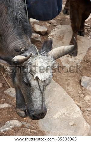 Load carrying yak closeup, Everest trek, Nepal - stock photo