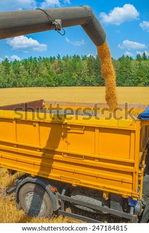 loadding corns of wheat at harvesting - stock photo