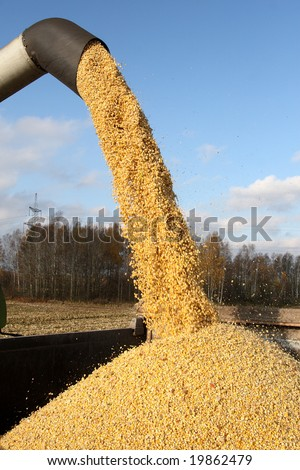 Loading of grain of corn in the car from a combine in the field - stock photo