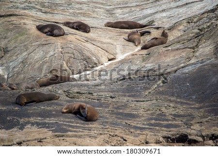 Loads of seals relaxing on a rock, milford sound, south island - new zealand