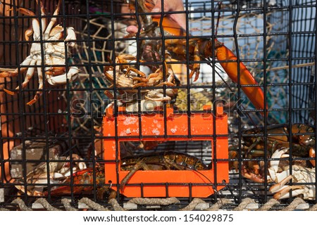 Lobsters and Crabs hanging on to side of trap - stock photo