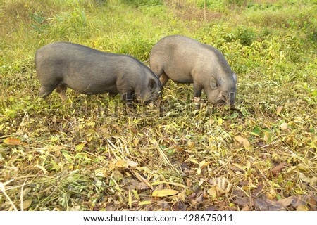 Local breed of two boar with finding food by self in natural. - stock photo