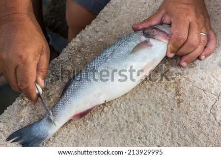 Local fisherman cleaning fresh sea bass fish with his fingers and knife - stock photo