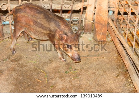 Local pig is in pigsty of northeast of Thailand - stock photo