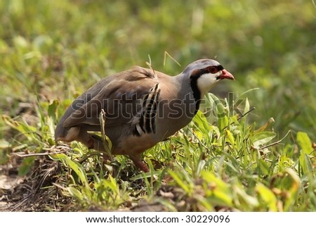 Located this Chukar at a wildlife area in Missouri. - stock photo