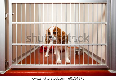 Locked up Cavalier King Charles Spaniel in a daycare cage. - stock photo