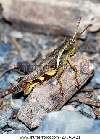 locust - stock photo
