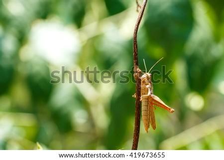 Locust,grasshopper,insect,bug,nature.Background blur. - stock photo