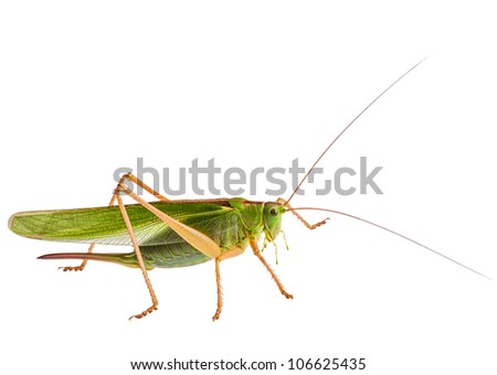 locust, grasshopper isolated on white background - stock photo
