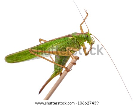 locust, grasshopper isolated on white background - stock photo